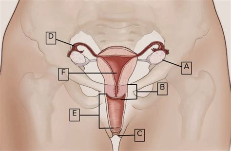 Innies outies the vagina, clitoris, uterus and more png 779x510